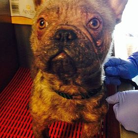 Willow Veterinary Clinic - Reggie's Story - Treatment of Demodectic Mange