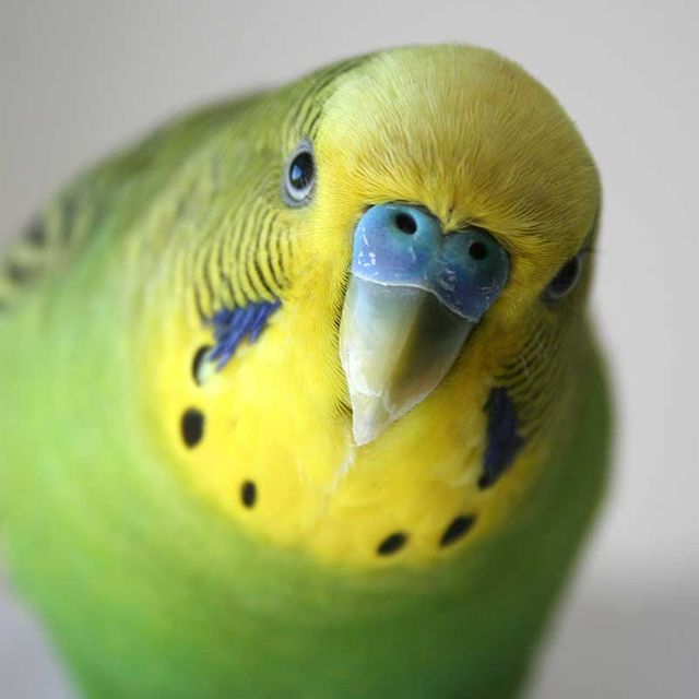 happy-Parakeet