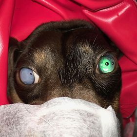 Willow Veterinary Clinic - Cataract Surgery